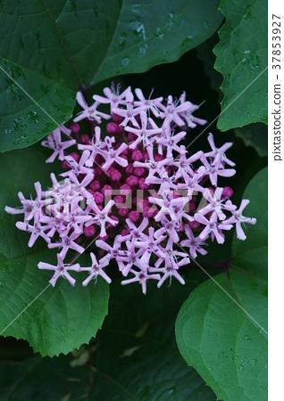 모란 냄새 나무 단추 누리 장나무 꽃말은 '빛나는 아름다움' 37853927