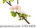 flowers of an apple tree 37854800