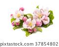 flowers of an apple tree 37854802