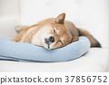 柴犬 叢林犬 毛孩 37856752