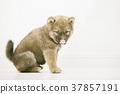 귀여운 시바 강아지 37857191