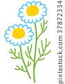 甘菊 甘菊花 花朵 37872334