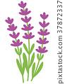 熏衣草 薰衣草 花朵 37872337