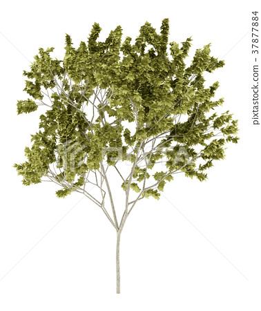 norway maple tree isolated on white background 37877884