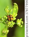 Orange ladybug couple near Pune 37877906
