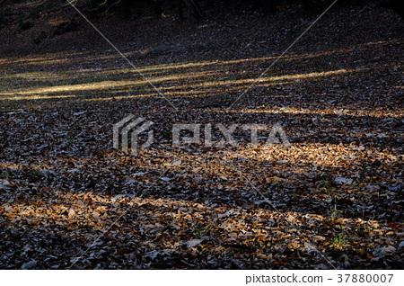 Sunlight leaves and fallen leaves 37880007