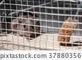 mouse inside mousetrap 37880356