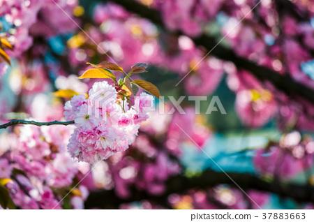 pink blossomed sakura flowers 37883663