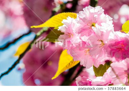 Sakura flower blossom in springtime 37883664
