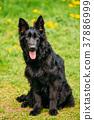 Black German Shepherd Dog Sit In Green Grass 37886999