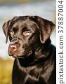 Beautiful Brown Dog Lab Labrador Retriever  37887004