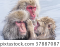 지고 쿠 다니 야생 원숭이 공 원의 스노우 몽키 37887087