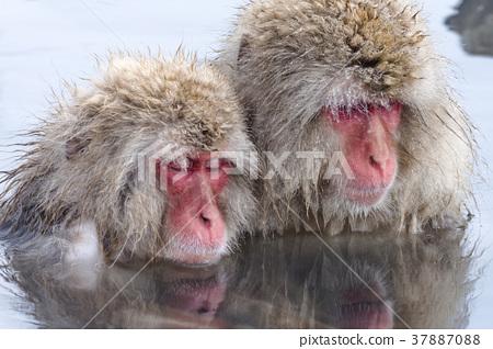 지고 쿠 다니 야생 원숭이 공 원의 스노우 몽키 37887088