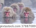 지고 쿠 다니 야생 원숭이 공 원의 스노우 몽키 37887089