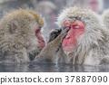 지고 쿠 다니 야생 원숭이 공 원의 스노우 몽키 37887090