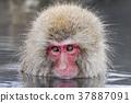 지고 쿠 다니 야생 원숭이 공 원의 스노우 몽키 37887091