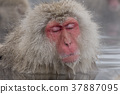 지고 쿠 다니 야생 원숭이 공 원의 스노우 몽키 37887095