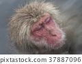 지고 쿠 다니 야생 원숭이 공 원의 스노우 몽키 37887096