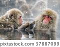 지고 쿠 다니 야생 원숭이 공 원의 스노우 몽키 37887099