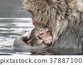 지고 쿠 다니 야생 원숭이 공 원의 스노우 몽키 37887100