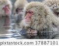 지고 쿠 다니 야생 원숭이 공 원의 스노우 몽키 37887101