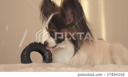 Young dog breeds Papillon Continental Toy Spaniel 37894206