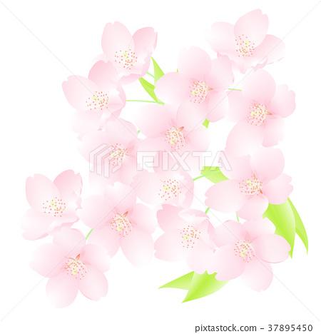 Cherry blossom close-up illustration 37895450