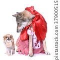 dressed Saarloos wolfdog and chihuahua 37900515