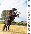 riding girl and stallion 37900599