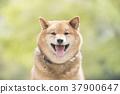 柴犬 叢林犬 毛孩 37900647
