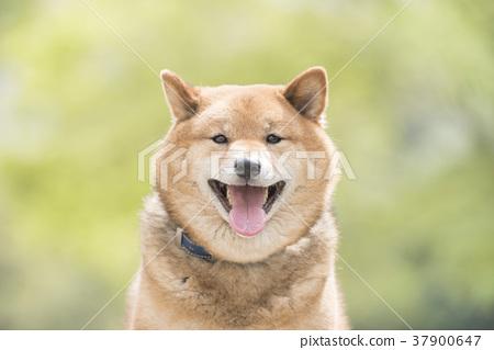新綠色背景的微笑的什巴Inu 37900647