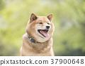 柴犬 丛林犬 狗 37900648