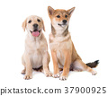 dog puppy labrador 37900925