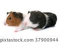guinea pigs in studio 37900944