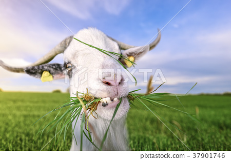 Goat with funny teeth and grass in mouth 37901746