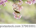 벚꽃, 동박새, 조류 37903001