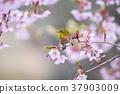 벚꽃과 동박새 37903009