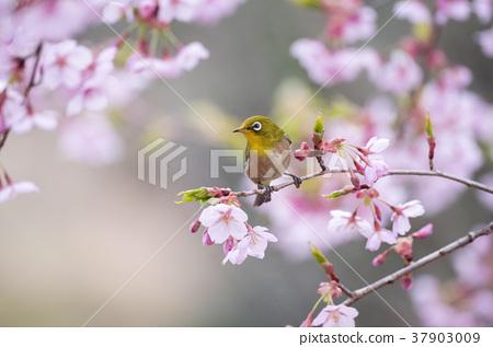 Sakura and mezzo 37903009