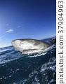 鲨鱼 巴哈马 跳水 37904963