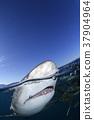 鲨鱼 巴哈马 跳水 37904964