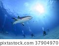 鲨鱼 巴哈马 跳水 37904970