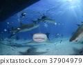 鯊魚 巴哈馬 跳水 37904979