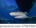 鲨鱼 巴哈马 跳水 37904980