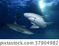鯊魚 巴哈馬 跳水 37904982