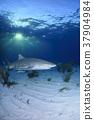 鯊魚 巴哈馬 跳水 37904984
