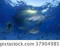 鲨鱼 巴哈马 跳水 37904985
