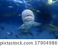 鲨鱼 巴哈马 跳水 37904986