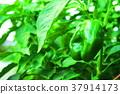 胡椒 柿子椒 青椒 37914173