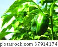胡椒 柿子椒 青椒 37914174
