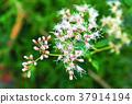 thoroughwort, asteraceae, compositae 37914194